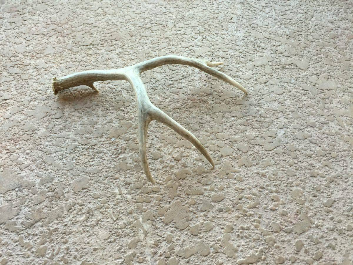 These are the antlers Mary Ellen Merrigan will bead.